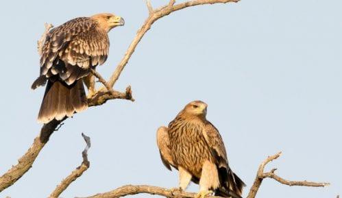 Društvo za zaštitu ptica: U Srbiji još dva gnezdeća para ugroženog orla krstaša 1