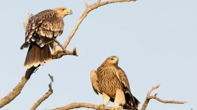 Društvo za zaštitu ptica: U Srbiji još dva gnezdeća para ugroženog orla krstaša 2