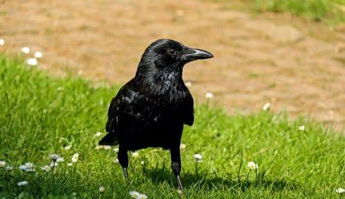 Da li znate kako se kaže: Gavran ili vrana? 2
