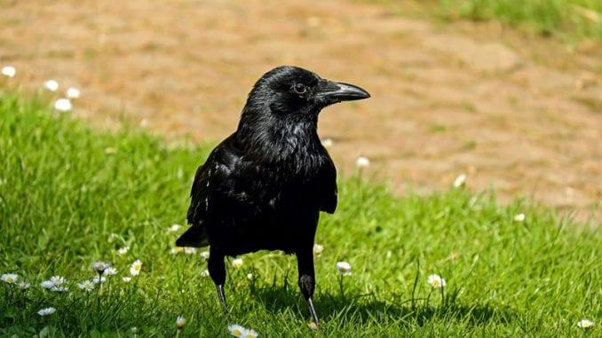 Da li znate kako se kaže: Gavran ili vrana? 1