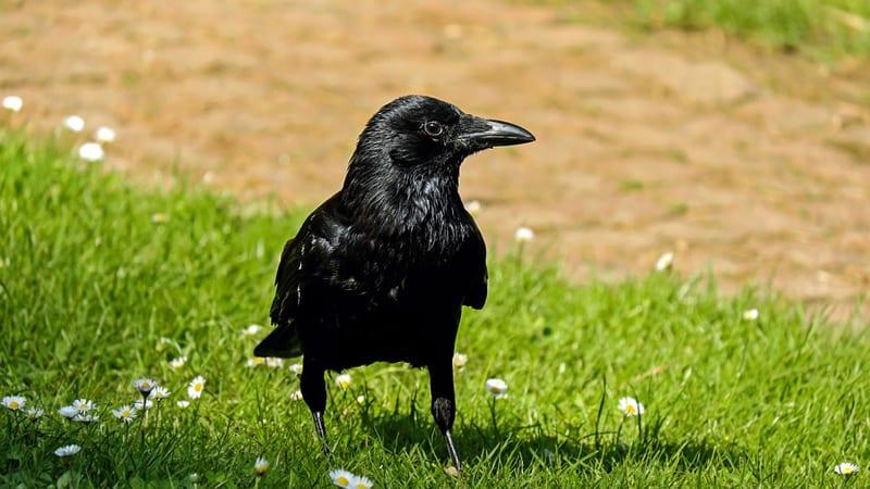 N1: Vrane su sada agresivne, kako da izbegnete napade 1
