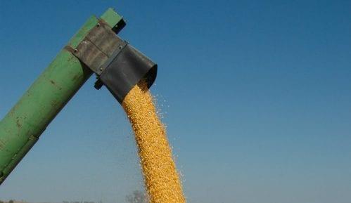 Poljoprivredni stručnjaci: Vrućine neće oštetiti kukuruz jer je u fazi zrenja 10