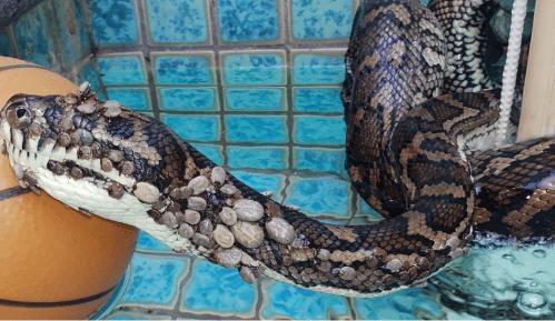 Australija: Pronađen i spasen piton sa 500 krpelja 14