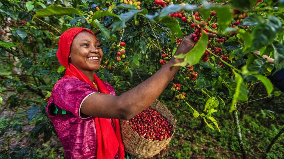 žena bere kafu u etiopiji