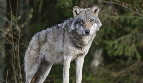 Društvo za zaštitu ptica: Ubijanje vukova ne sme da bude turizam 10