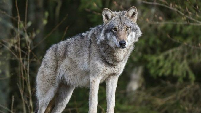Društvo za zaštitu ptica: Ubijanje vukova ne sme da bude turizam 1