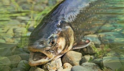Pomor ribe na ušću Raške u Ibar 14