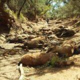 Pomor divljih konja zbog ekstremno visokih temperatura u Australiji 5