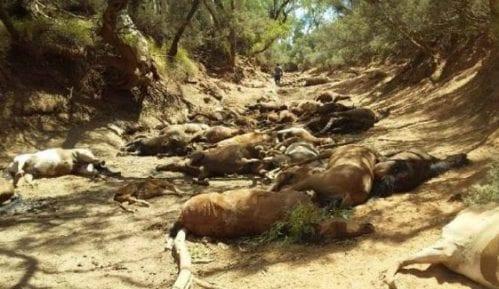 Pomor divljih konja zbog ekstremno visokih temperatura u Australiji 6