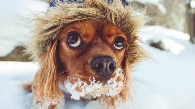 Zašto psi jedu sneg? 1