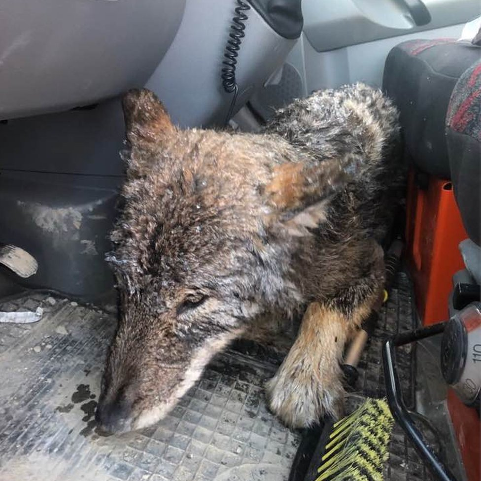 In this photo, the wolf lies on the floor of a car