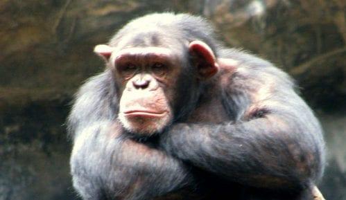 """Šimpanze koje """"govore"""" kao ljudi 1"""