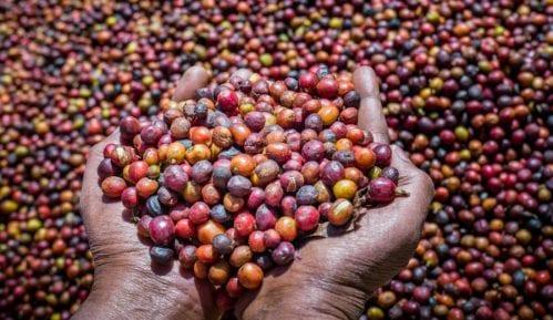 Divljoj kafi preti nestanak usled klimatskih promena (2.deo) 9