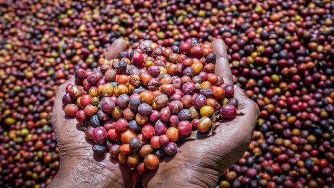 Divljoj kafi preti nestanak usled klimatskih promena (2.deo) 5
