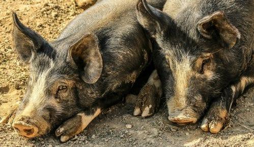 Zabrana prometa mesa na pijacama zbog sprečavanja pojave Afričke kuge svinja 8