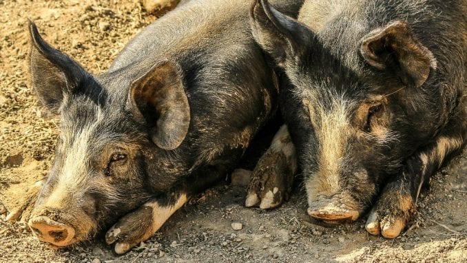 Afrička kuga svinja u selu Aleksandrovac kod Negotina 1