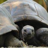 Sveta kornjača balsamovana u Vijetnamu 3