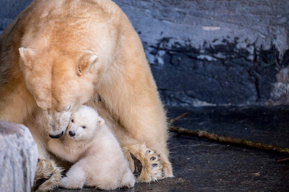 Meče polarnog medveda