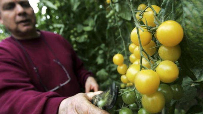 Novi Zakon o bezbednosti hrane: Uvodi li Srbija GM hranu 2