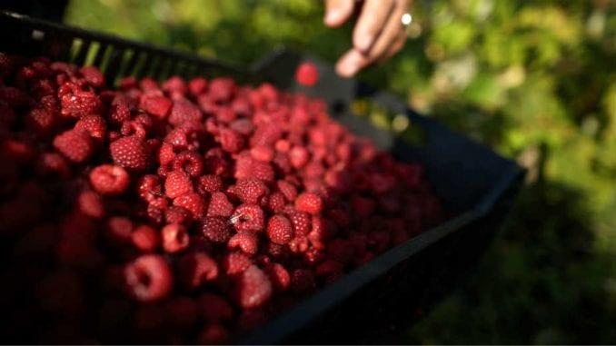Proizvođači malina i kupina sa Komisijom o problemu niskih cena tog voća 1