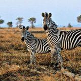 Odakle zebrama pruge? 4