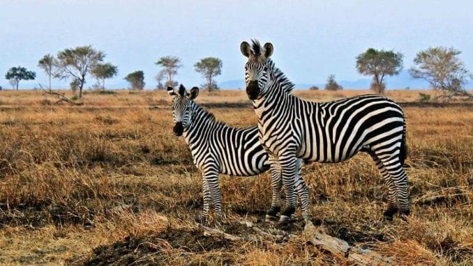 Odakle zebrama pruge? 2