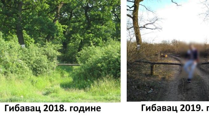 Seča stogodišnjih stabala šume 1