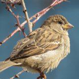 Populacija uobičajenih vrsta ptica u EU pokazuje znake oporavka 10