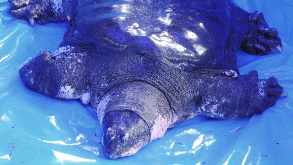 Mužjak velike mekooklopne Jangce kornjače
