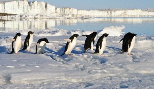 Populacija pingvina na Antarktiku opala za 77 odsto 9