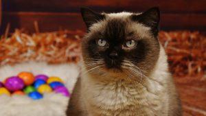 Hirurško uklanjanje kandži kod mačaka: Surovo ili opravdano? 2