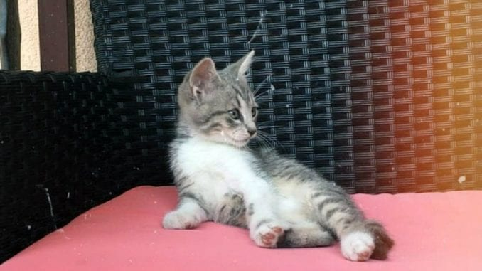 Mačka se može otrovati sredstvima protiv buva i krpelja 1