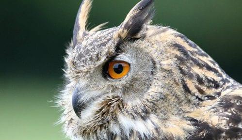 Društvo za zaštitu ptica Srbije: Ako vidite mladunce sova, vratite ih na drvo 8