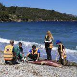 Povećana smrtnost delfina u Egejskom moru 6