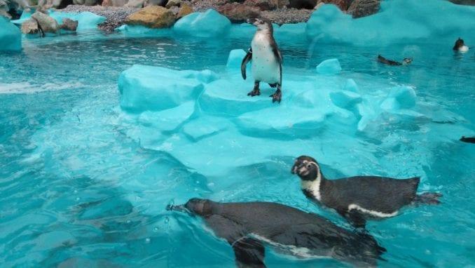 Otvoren pingvinarijum u Beo zoo vrtu (FOTO) 2