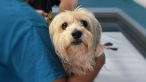 Kako da pomognete psu koji trpi jake bolove u leđima 2