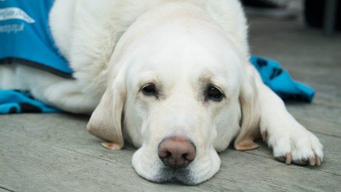 Kako da pomognete psu koji trpi jake bolove u leđima 1