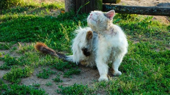 Šta raditi kad mačka dođe u kontakt sa preparatom protiv buva za pse? 1