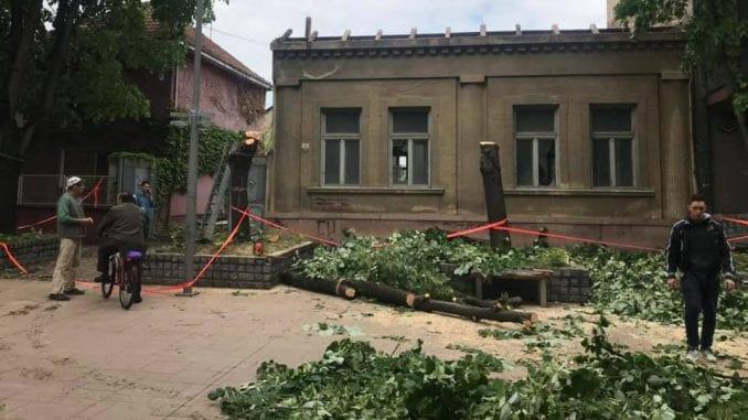 U Inđiji nezakonito posečena zdrava stabla lipe 5