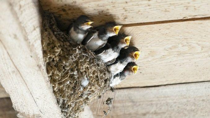 Počelo takmičenje za seosko domaćinstvo sa najviše gnezda lasta 2