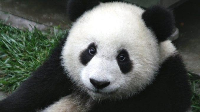 Kinezi predali novog pandu zoo vrtu u Beču 1