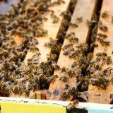 Pčelari i Uprava za zaštitu bilja apeluju na poljoprivrednike da ne truju pčele 3