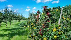 Koliko puta se prskaju jabuke u Srbiji? 2