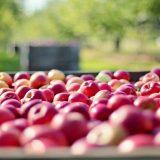 Srbija zatrpana jabukama, Pravilnik o izvozu zarobio ih u hladnjčama, a marketi ih uvoze iz Poljske 12