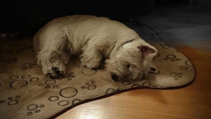 Kako psi reaguju na stres vlasnika? 1