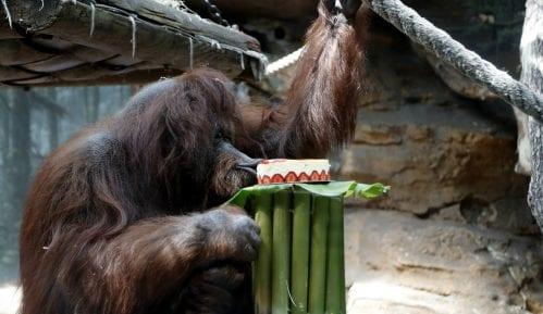 Organizovana proslava 50. rođendana ženke orangutana Nenet u Parizu 1