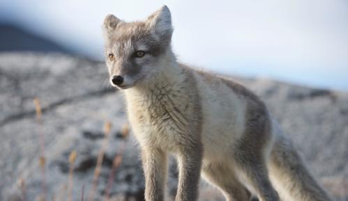 Lisica prešla put od Norveške do Kanade za 76 dana 11