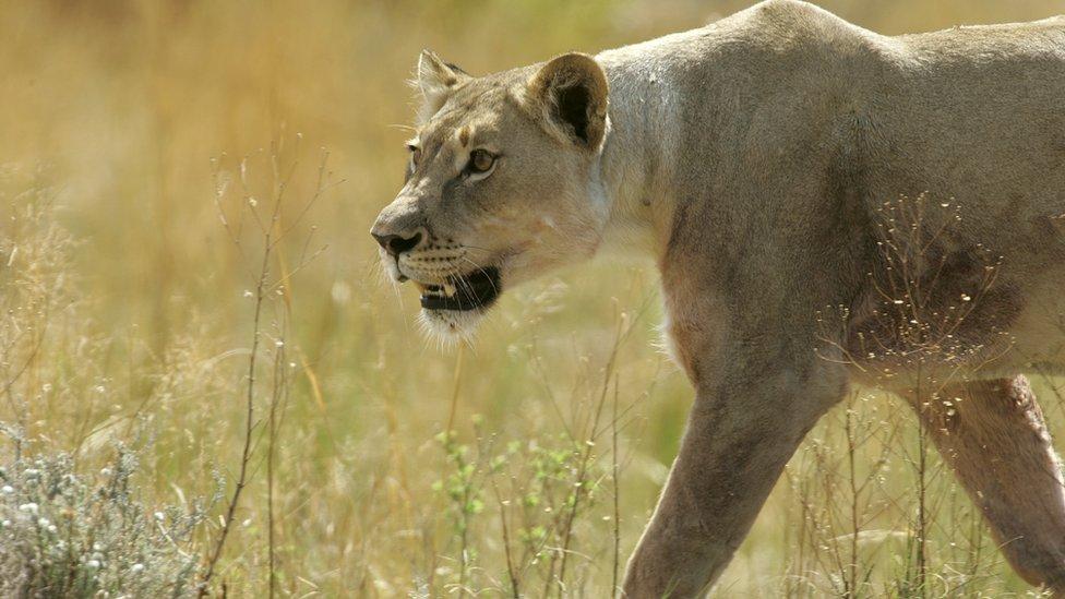 Lav u Južnoj Africi