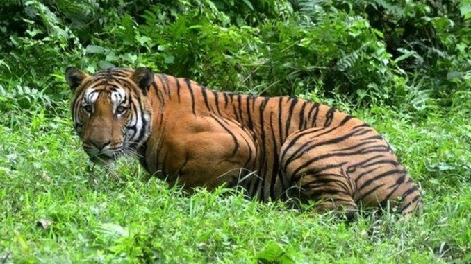 Svetski dan tigrova: Zabeležen porast broja tigrova u Indiji 2