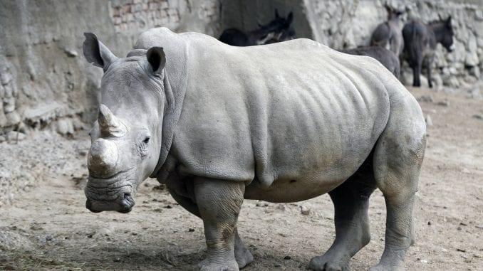 Nosorozi na ivici istrebljenja, i to najviše zbog rogova 1